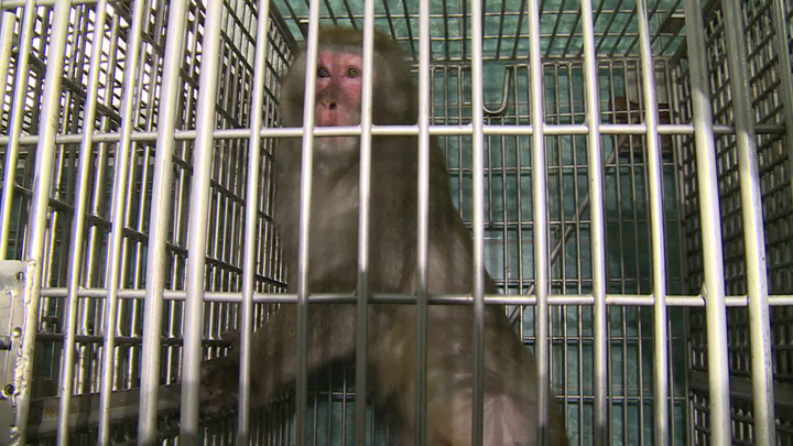 В сочинском НИИ приматологии провели уникальную  операцию на мозге обезьяны