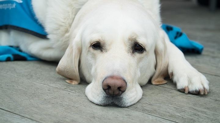 В Великобритании собак научили выявлять ковид