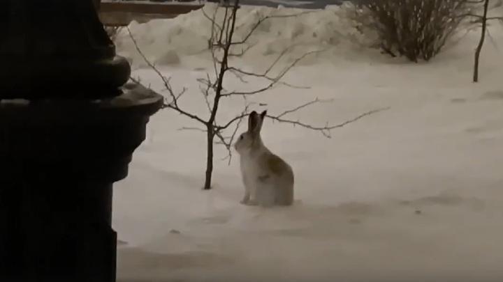"""""""Захотел поучиться"""": к челябинскому вузу пришел заяц"""