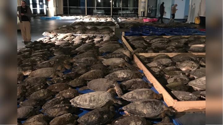 Жители Техаса пытаются спасти тысячи замерзающих морских черепах