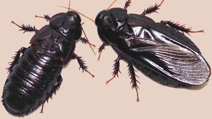 Два таракана вида Salganea taiwanensis до (справа) и после (слева) ритуала поедания крыльев.