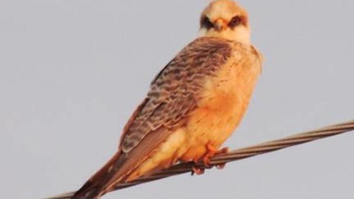 Птицу из Красной Книги Марий Эл выбрали символом 2021 года