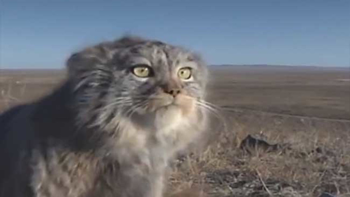 В Даурском заповеднике на видео попал зевающий манул