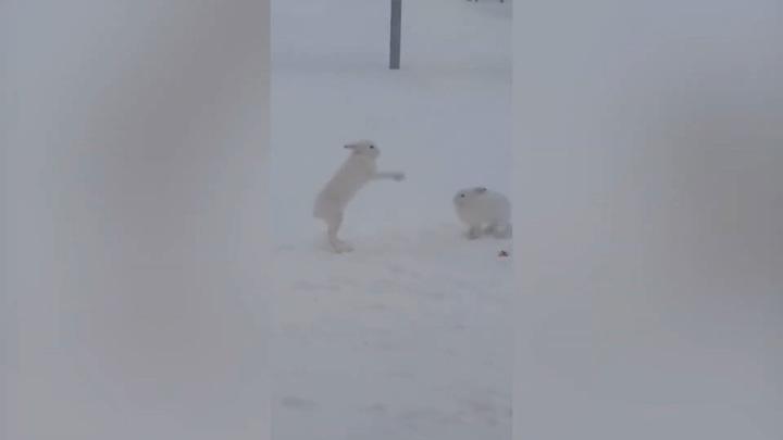 Битва за еду: разборки зайцев в Салавате сняли на видео