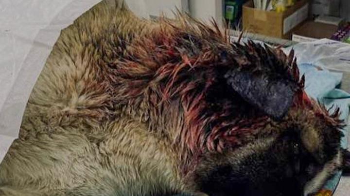 Найденного в Петрозаводске с жуткой травмой пса выхаживают в клинике Петербурга