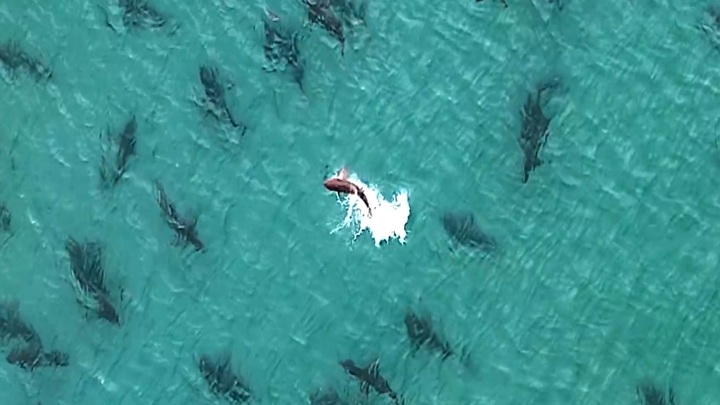 У побережья Флориды обнаружено огромное скопление акул. Видео