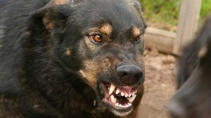 На Ямале из-за бешеной собаки, покусавшей 9 человек, в поселке вводят карантин