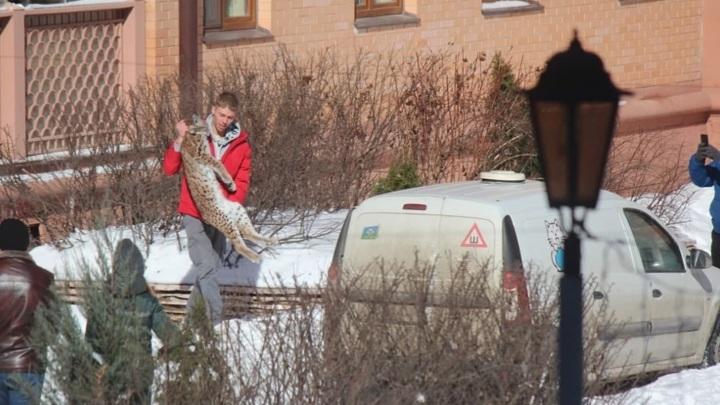 Рысь выпала с пятого этажа жилого дома в Химках
