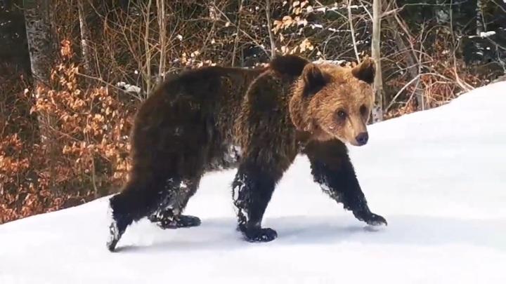 Инструктор спас горнолыжников от голодного медведя