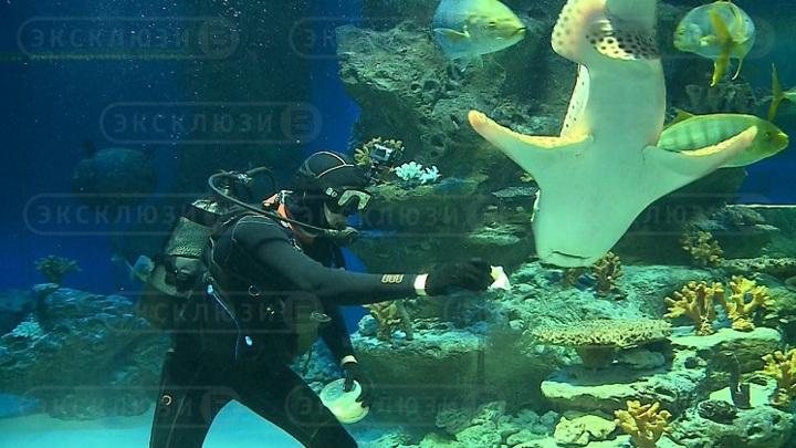 В честь Масленицы новосибирских акул накормили блинами