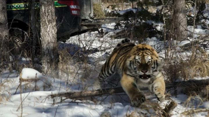 Тигрице, живущей в национальном парке в Приморье, выбрали имя