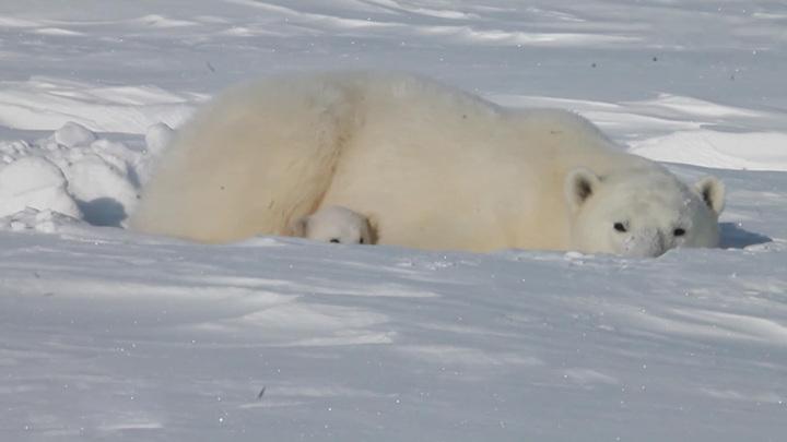 Истощенная белая медведица из Якутии пройдет реабилитацию в Московском зоопарке