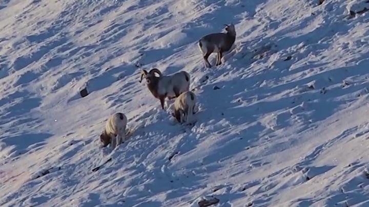 Склоны Полярного Урала ждут новых обитателей: снежные бараны будут обживать дикую природу Ямала