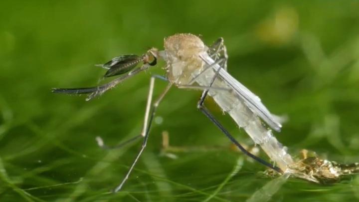 Обилие комаров в Москве вызвано прохладой в мае