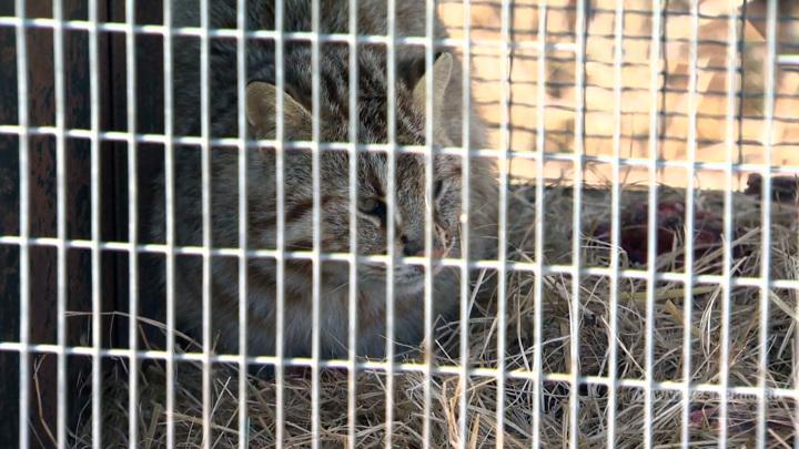 Попал в капкан в курятнике. В Приморье спасли лесного кота
