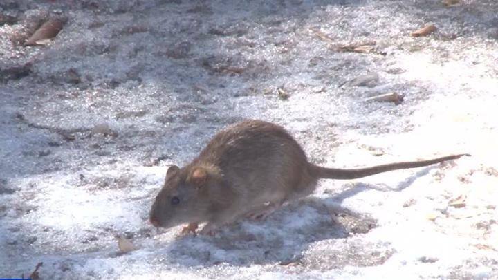 Жителей Кургана одолевают крысы