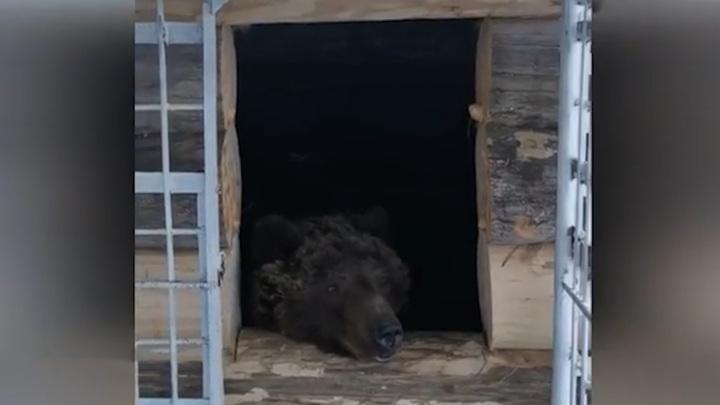 Наконец выспался: проведший 17 лет в клетке медведь Тишка вышел из спячки