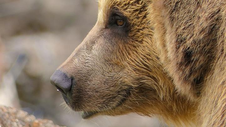 В Алтайском крае приступили к весеннему учету медведей