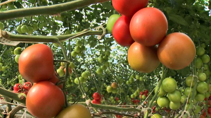 В белорусских томатах нашли вирус