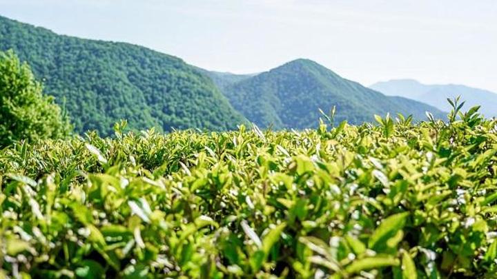В Сочи у чаеводов будут изымать неиспользуемые земли