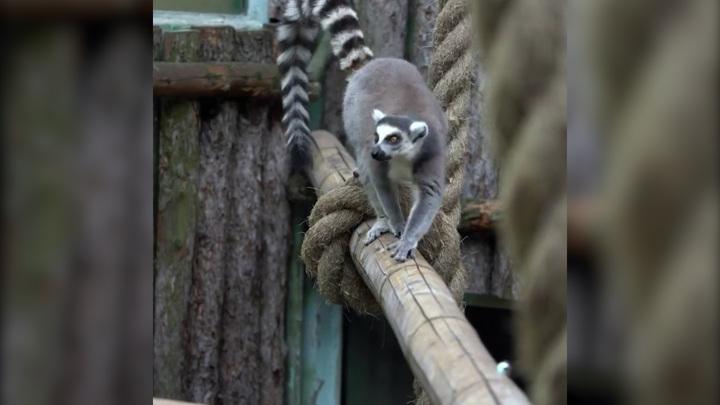 В зоопарке лемуры устроили охоту на саранчу