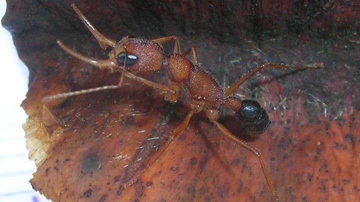Индийские прыгающие муравьи управляют размером собственного мозга.