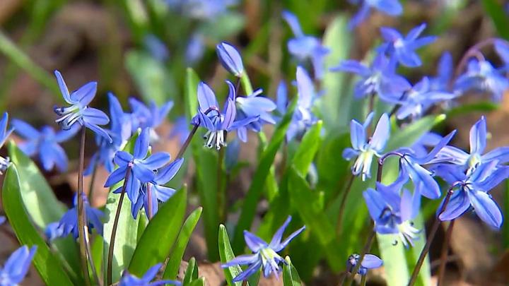 Москвичей-аллергиков предупреждают о пике цветения березы