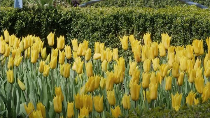 В Великобритании открылся знаменитый фестиваль тюльпанов
