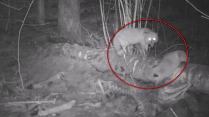 В Воронежском заповеднике лисы чуть не подрались из-за еды