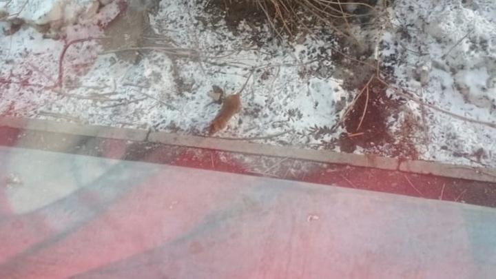 Жители Академгородка пожаловались на полчища крыс