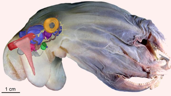 3D-модель внутреннего устройства нового вида Grimpoteuthis imperator.