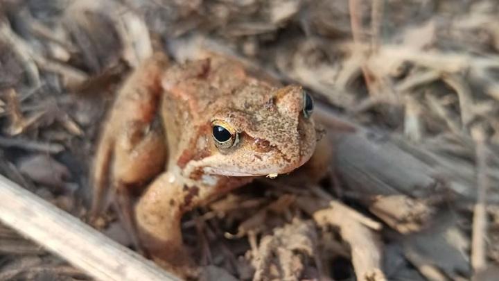 У редких московских лягушек начались свадьбы
