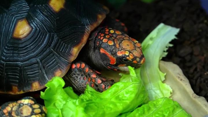 Нашествие красноухих: заморские черепахи захватили сочинские водоемы