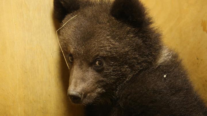 """В Тверскую область из парка """"Смоленское Поозерье"""" привезли медвежонка-сироту"""