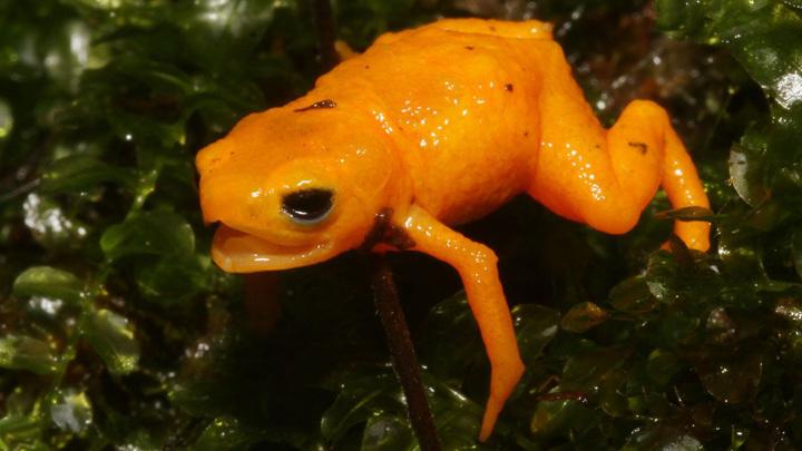 Новый вид получил название Brachycephalus rotenbergae.