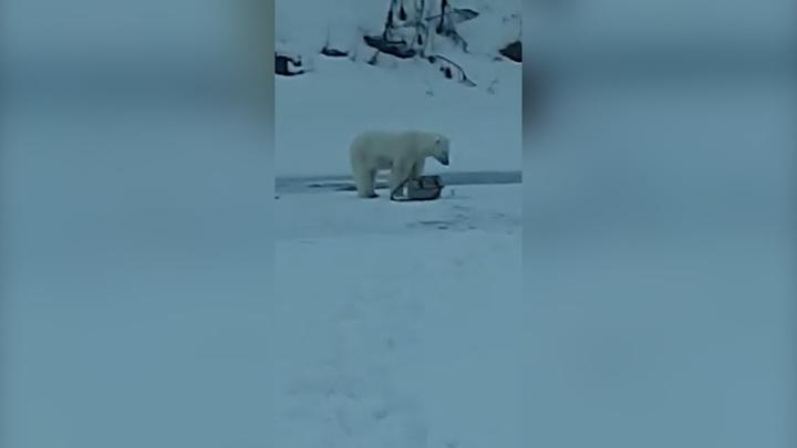 Отдай мои удочки: белый медведь лишил рыбака снастей. Видео