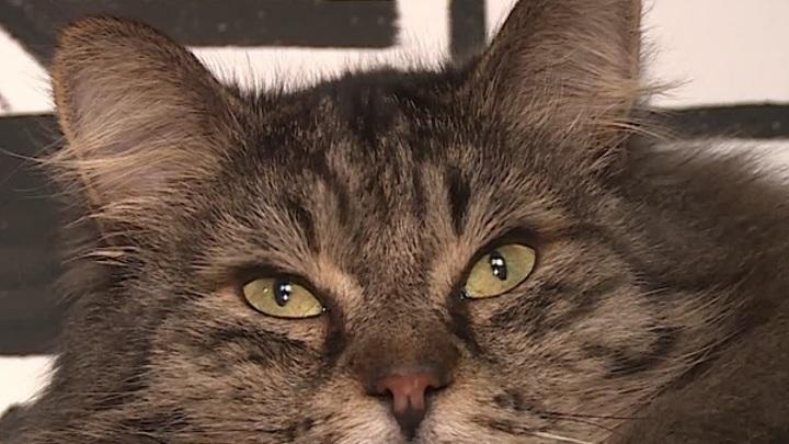 40 кошек в однокомнатной квартире. Волонтеры помогают пенсионерке пристроить питомцев