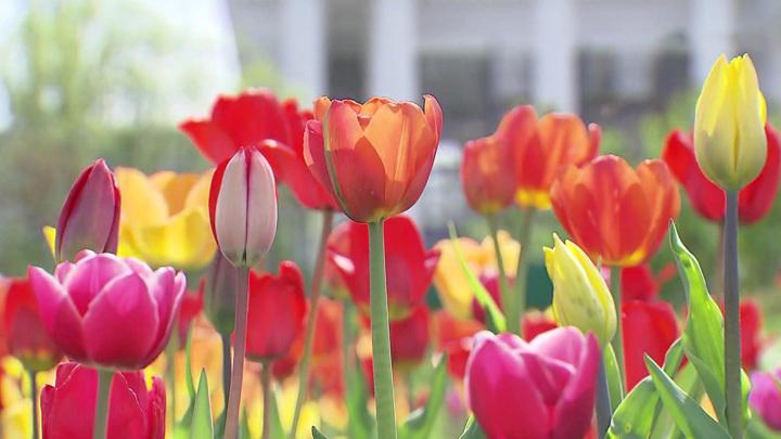 Почти 14 млн тюльпанов высадят в Москве до конца недели