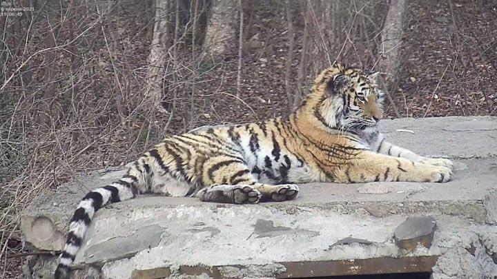 В Приморье тигрицу Санду после реабилитации выпускают в дикую природу