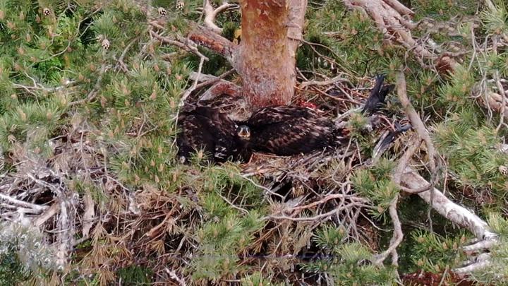 Орлан-белохвостый: в Пензе обнаружили птиц из Красной книги