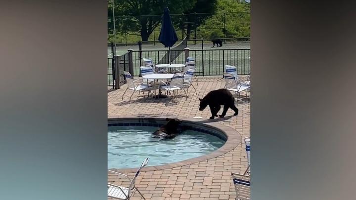 Семья медведей сорвала вечеринку выпускников у бассейна