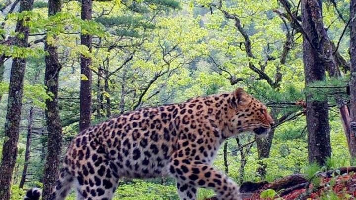 Многодетная самка дальневосточного леопарда установила мировой рекорд