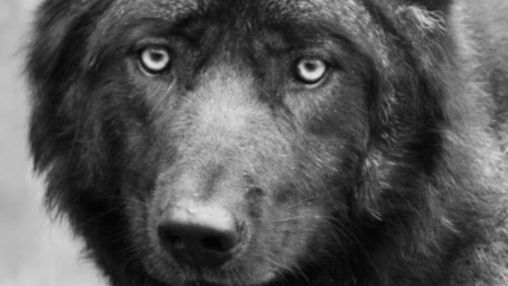 Волк оберегал свою умершую любовь от сотрудников нижегородского зоопарка