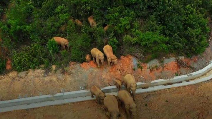 В Китае слоны сбежали от хорошей жизни
