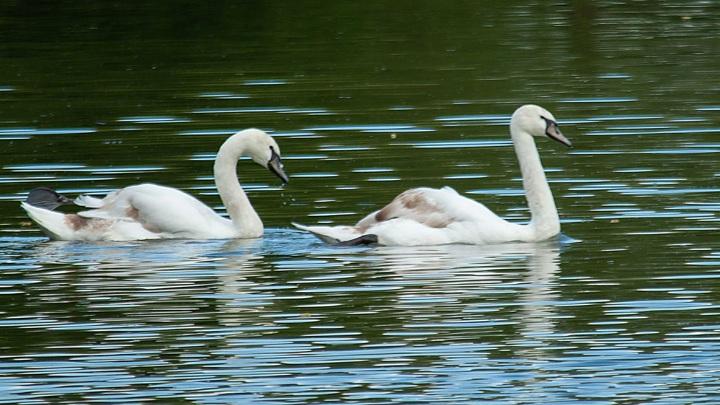 Чистая вода: на озеро Кашкадан в Уфе прилетели лебеди