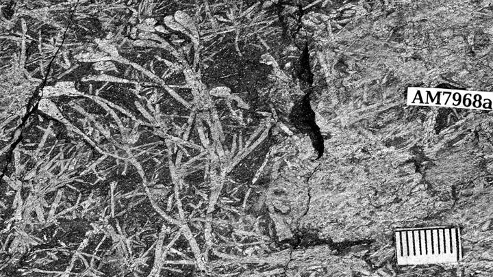 Небольшое растение с множеством осей, предшественниц побегов. На концах растения можно увидеть овальные репродуктивные органы - спорангии.