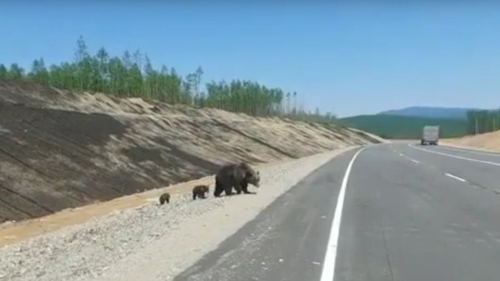 Медведица с малышами вторую неделю кормится на амурской трассе. Видео