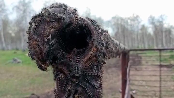 Нашествие шелкопряда: в Башкортостане насекомые перекинулись на металл