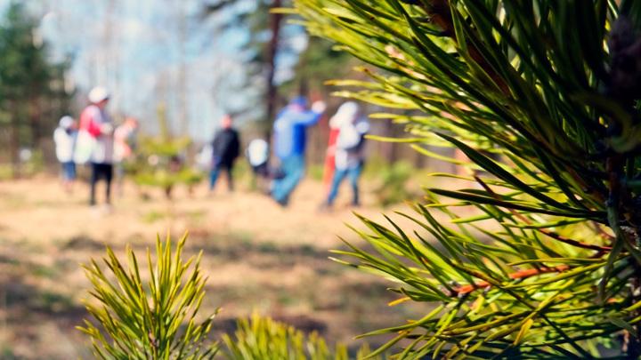 Сосны-великаны в Ивановской области получили защиту