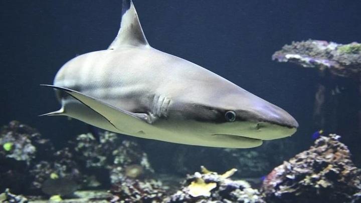 Приморцы покормили акулу с катера в районе острова Русский